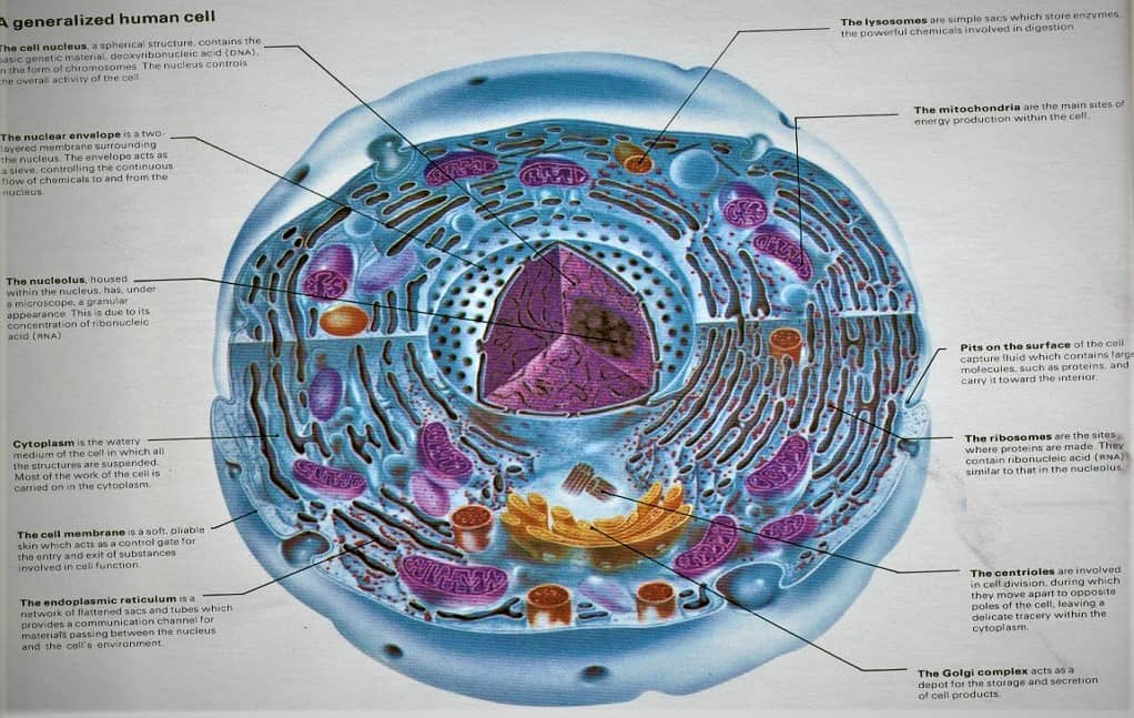 An Introduction to Human Cell - Anatomy - Physiology Notes