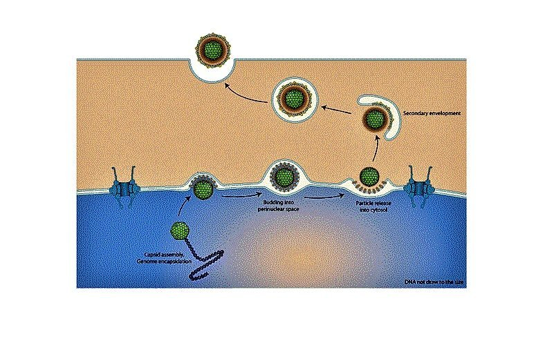 VIRUS-HOST INTERACTION – WHAT HAPPENS WHEN VIRUS INTERACTS WITH THE LIVING HOST?