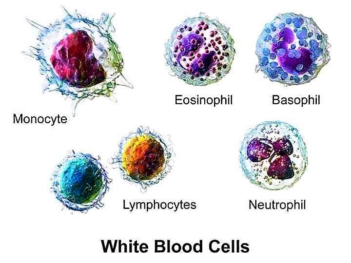 WHITE BLOOD CELLS - TOTAL LEUCOCYTE COUNT - TOTAL WBC COUNT - TOTAL WHITE BLOOD CELL COUNT - TLC - TWBC COUNT - NEUBAUER's CHAMBER - HEMOCYTOMETER