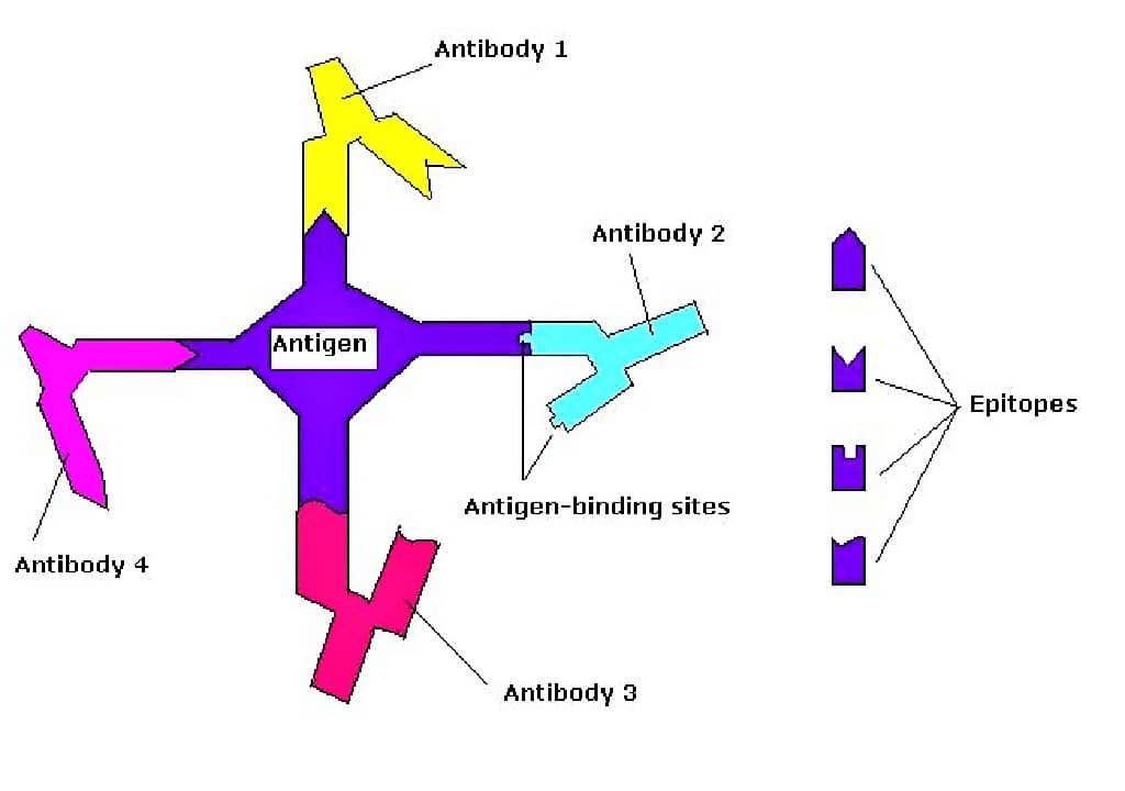 ANTIGEN - EPITOPE