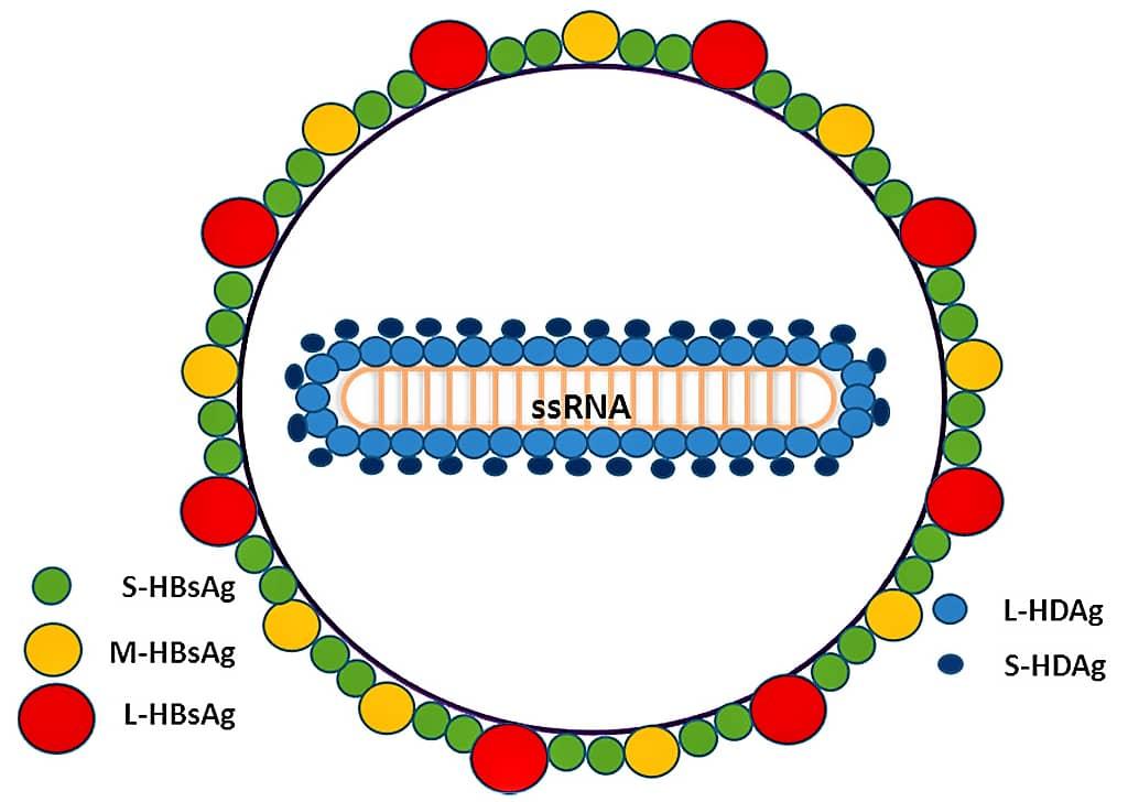 hepatitis d virus - hdv - morphology of hepatitis d virus - structure of hepatitis d virus - clinical features of hepatitis d virus - lab diagnosis of hepatitis d virus