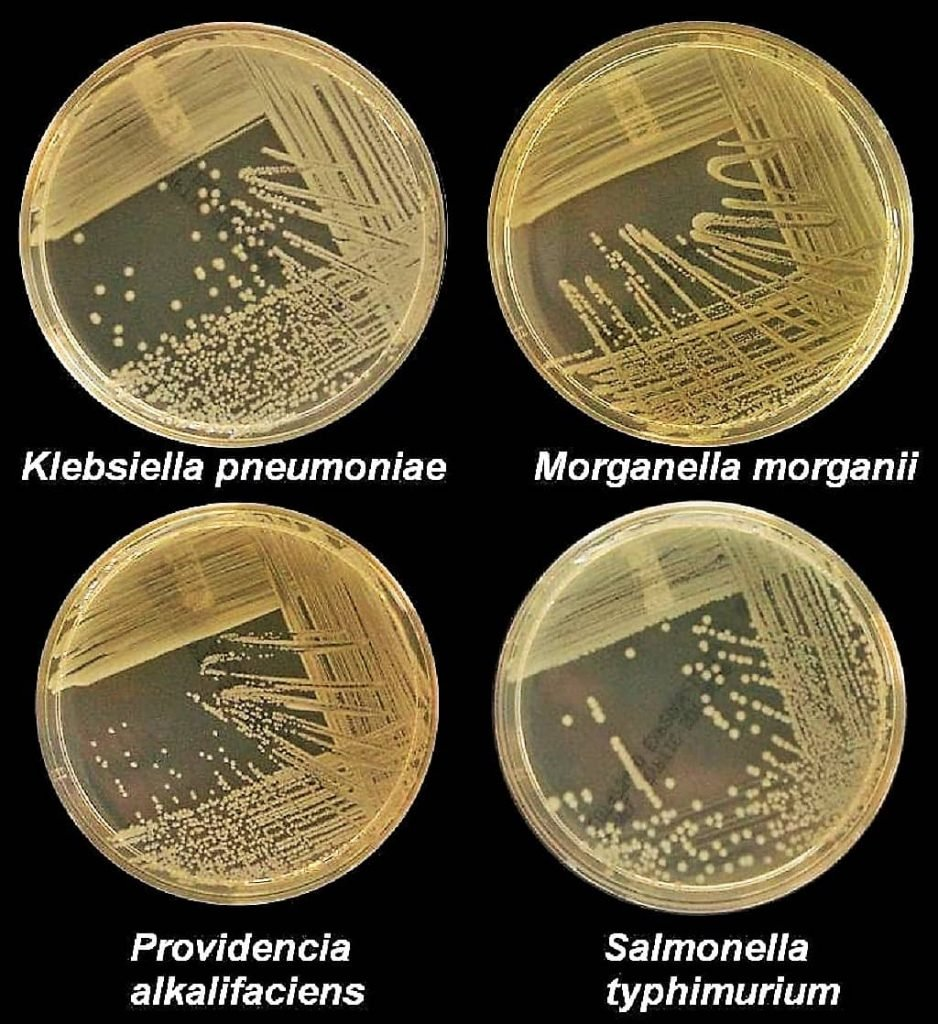 nutrient agar medium - growth of bacteria on nutrient agar medium - Klebsiella pneumoniae - Morganella morganii - providencia alkalifaceiens -Salmonella typhimurium - culture on nam - basal media