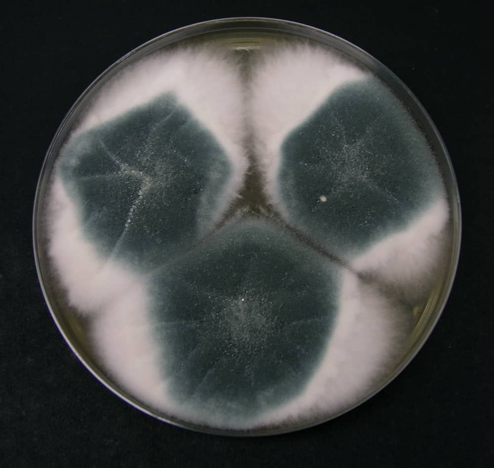 ASPERGILLUS FUMIGATUS - preparation of sabouraud dextrose agar - sda media - how to prepare sda mediu in lab - sda medium preparation