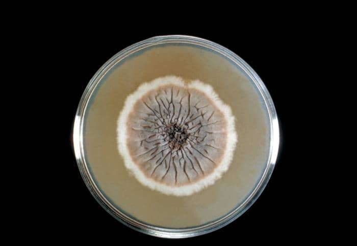 Sporothrix schenckii on Sabouraud dextrose agar medium - Sporothrix schenckii on SDA medium