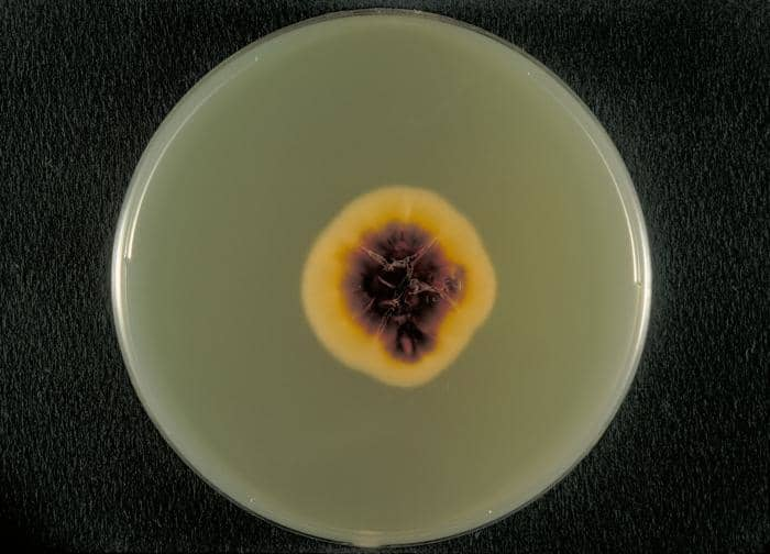 Trichophyton rubrum on sabouraud dextrose agar medium - Trichophyton rubrum on SDA medium
