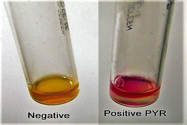 pyr test - streptococcus pyr test - pyr test for streptococcus - streptococci pyr test