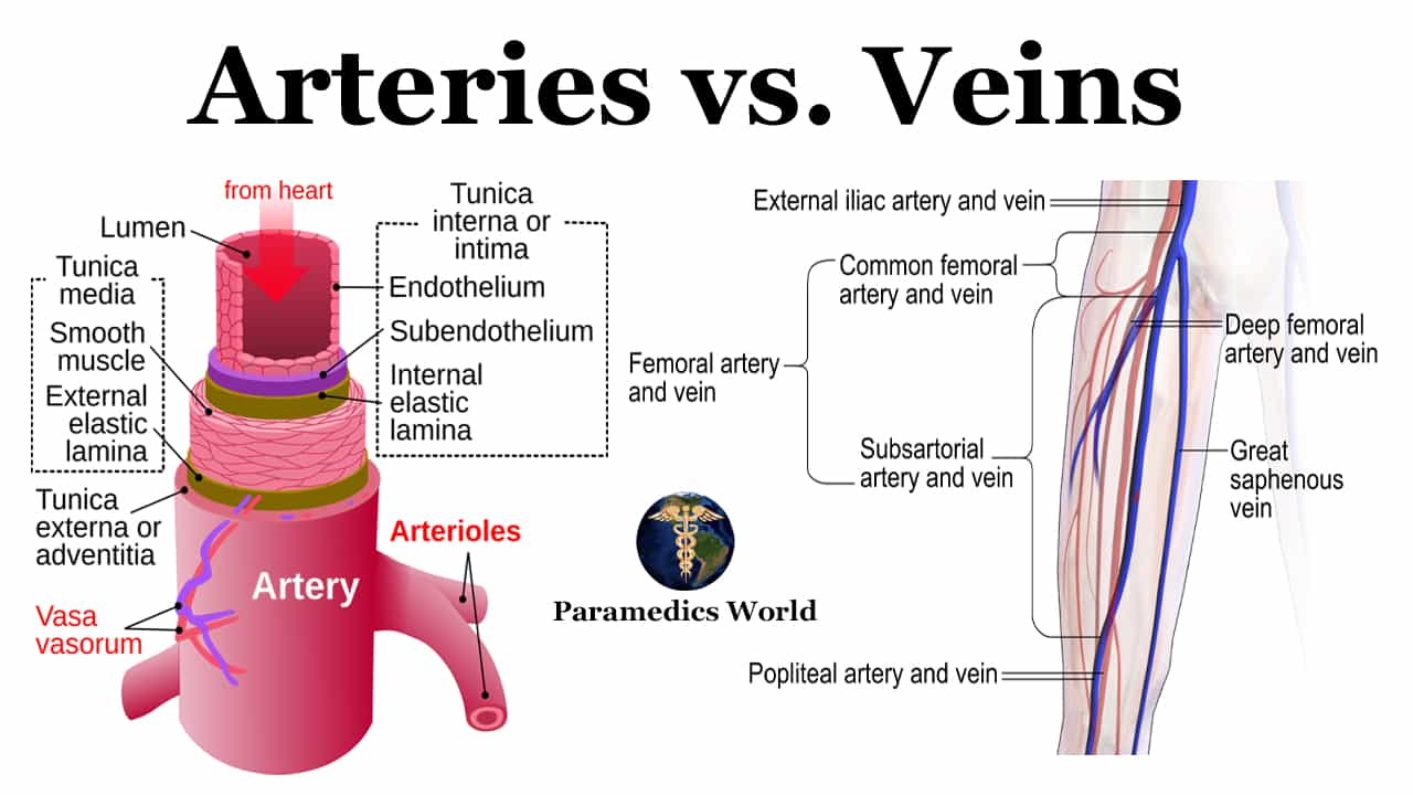 Top 25 Difference between Arteries and Veins | Paramedics ...