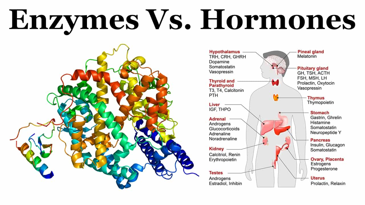 difference between enzymes and hormones - enzymes vs hormones - hormones and enzymes - difference between