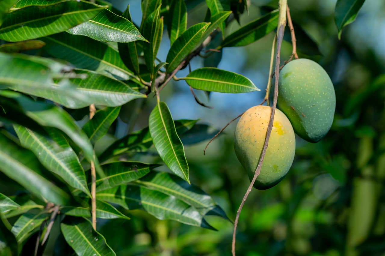mango leaves to control and treat diabetes